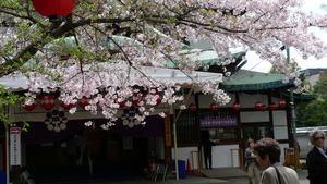 Kyotosakura